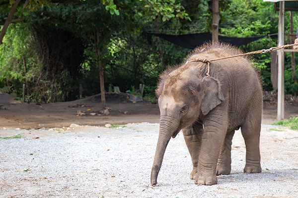 Things To Do in Hua Hin: Elephant Camp